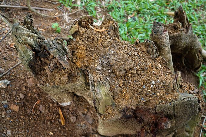 Cây đa nghìn năm 'biết đi' quanh đền cổ ở Ninh Bình