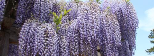 Vẻ đẹp của những tán hoa Tử Đằng tím biếc.
