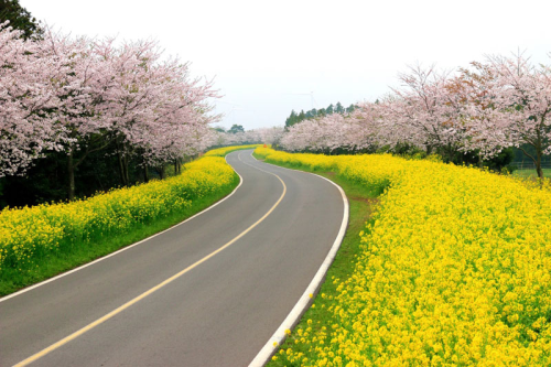 Những lễ hội hoa anh đào nổi tiếng xứ Hàn