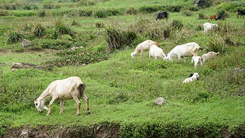 Những đàn dê được chăn thả bên sườn núi.Ảnh: Phong Vinh.