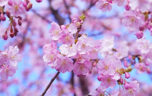 Mùa xuân hoa anh đào khoe sắc rực rỡ ở Nhật Bản. Ảnh: Japan Rail Pass.