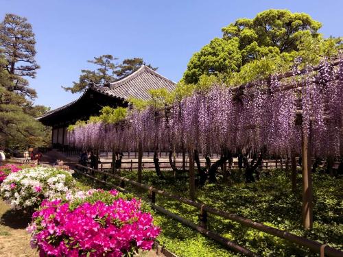Điểm ngắm hoa tử đằng đẹp là đền Byodo-In, ngôi đền ở Kyoto xuất hiện trên đồng tiền mười yên Nhật Bản. Ngoài ra, đền Kasugataisha cũng là nơi hoa tử đằng là biểu tượng mà gia tộc Fujiwara tôn thờ nên du khách có thể chiêm ngưỡng loài hoa này khi đặt chân đến đây.