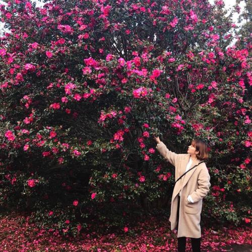 Camellia Hill là điểm đến các bạn trẻ Jeju rất yêu thích, nhiều du khách nước ngoài chưa biết đến. Vietravel Hà Nội hiện là đơn vị lữ hành tiên phong giới thiệu điểm đến mới này trong hành trình du lịch Hàn Quốc với chi phí từ 16,9 triệu đồng, khởi hành ngay trong dịp nghỉ lễ 30/4. Nếu hết mùa hoa trà sẽ là mùa của cẩm tú cầu, nhài đây, mạch  môn, đỗ quyên nên du khách có thể đến đây ngắm hoa, chụp ảnh sống ảo quanh năm.