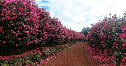 Nhắc đến Hàn Quốc, Camellia Hill chính là thiên đường để sống ảo dành cho những người mê hoa, yêu thích chụp ảnh. Nơi đây phủ kín nhiều bụi hoa trà đỏ rực rỡ với những dòng chữ lãng mạn treo khắp các lối đi, ghế đá sẽ được đặt xen kẽ giữa vườn hoa để du khách tha hồ tạo dáng chụp hình.