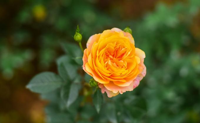 Vườn hồng lớn nhất Việt Nam ở ngoại thành Hà Nội