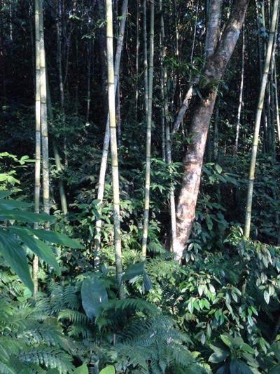 Những cây vầu đắng trưởng thành mọc tự nhiên. Ảnh: Nguyễn Minh Chuyển.
