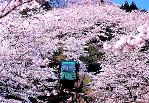 Chiêm ngưỡng hoa anh đào trên những chuyến tàu vùng Tohoku - 2