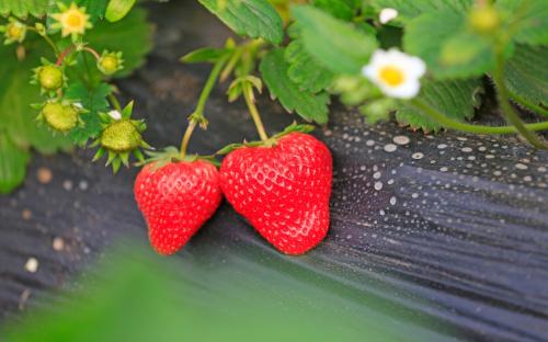Khởi động cho ngày mới là một màng hái dâu tươi thỏa thích tại vườn. Những trái dâu được trồng theo phương pháp hữu cơ không sử dụng thuốc hóa học. Còn gì tuyệt vời hơn việc thưởng thức những trái dâu mang hương vị tươi ngon và ngọt lịm nào!