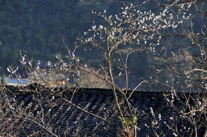 Hoa đào, mận nở muộn trên Hà Giang