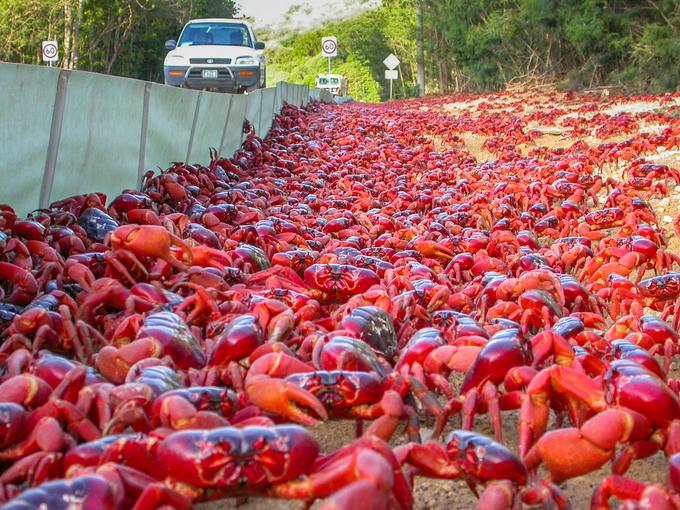 Hòn đảo cấm đường, xây cầu làm lối đi cho hàng triệu con cua