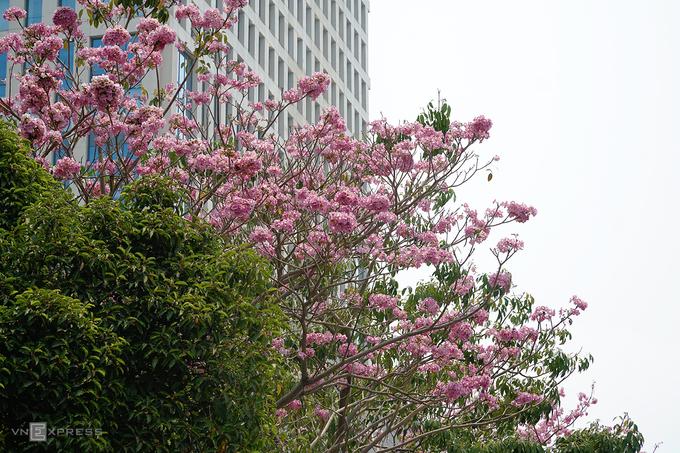 Đường phố Sài Gòn 'thay áo mới' nhờ hoa kèn hồng nở sớm