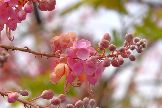 Mùa hoa ô môi hồng rực rỡ ở miền Tây