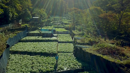 Vườn wasabi trên núi của ông Iida. Ảnh: The Atlantic.