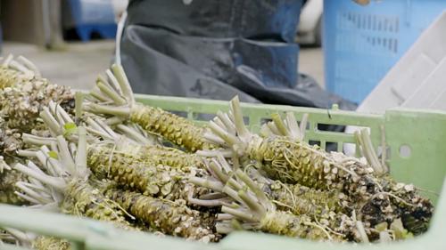 Theo nghiên cứu, wasabi giúp chữa bệnh ung thư, khử trùng và diệt khuẩn - nhiều lợi ích hơn dầu hạt mù tạc. Ảnh: The Atlantic.