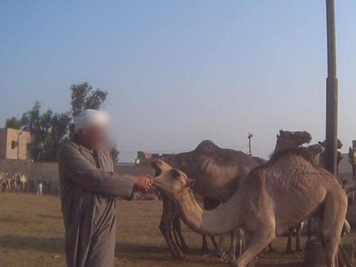 Lạc đà chở khách bị bóp miệng, đối xử thô bạo. Ảnh: News.