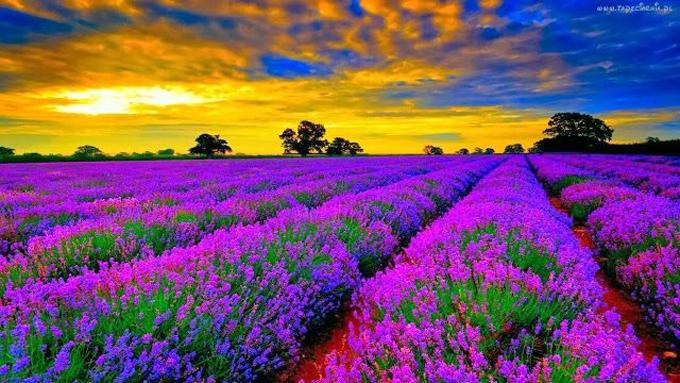 5 cánh đồng hoa oải hương đẹp trên thế giới