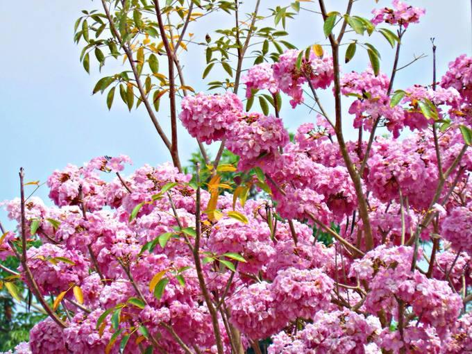 Con đường 160 cây kèn hồng nở rực rỡ ở Sóc Trăng