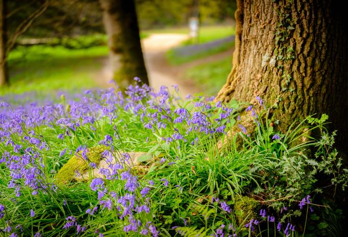 Hàng triệu bông hoa chuông xanh khiến rừng ở Anh đẹp như cổ tích