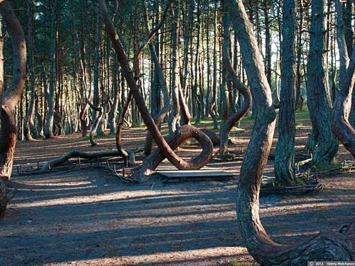 Nhiều cây có phần gốc cong vênh, cuộn tròn hình chữ O. Một vài cây mọc trong tư thế như sắp đổ. Do đó, nhiều người còn gọi những cây thông này là thông say rượu. Ảnh: Amusing Planet.