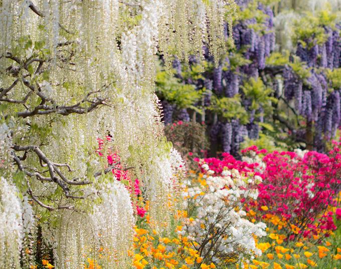 Thiên đường hoa tử đằng nở rộ ở Nhật Bản