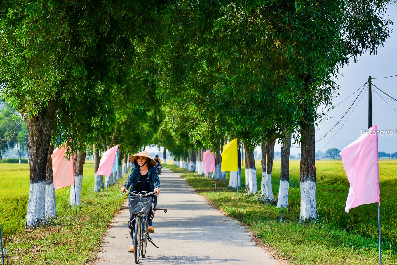 Sen nở hồng bên cánh đồng lúa chín ở Thừa Thiên - Huế