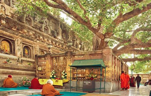 CộiBồ Đề tại Bồ Đề Đạo Tràng. Đây không phải là cây nguyên thủy từ thời Đức Phật thành đạo. Ảnh: Goibibo.