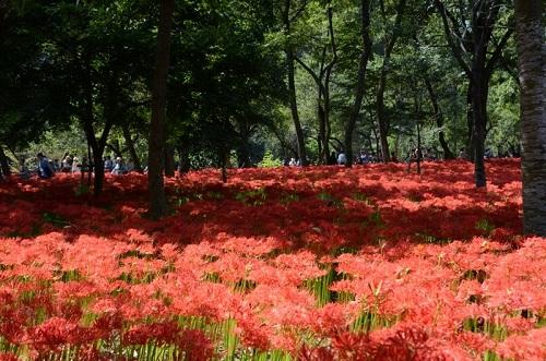 Hàng triệu bông hoa Bỉ Ngạn nở rộ vào cuối tháng 9 tại công viên Kinchakuda, Nhật Bản. Ảnh:Pref Saitami.