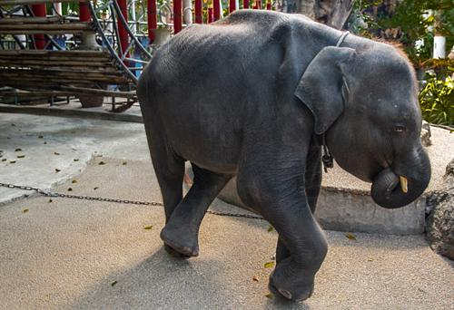 Những người tham gia dự án cứu trợ Dumbo rất lo lắng cho sức khỏe của nó trước khi con voi đột ngột qua đời. Ảnh:Moving Animals.
