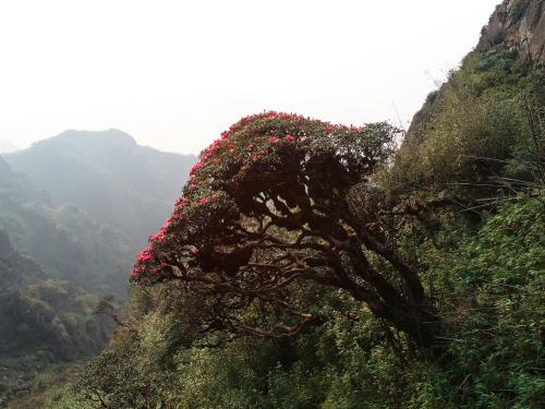 Đỗ quyên trăm tuổi nở rộ ở đỉnh núi Fansipan - ảnh 2
