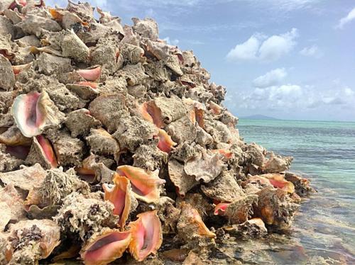 Các nhà khoa học lấy mẫu một số vỏ ốc từ đáy đảo Conch để nghiên cứu và xác định rằng chúng có niên đại hàng trăm năm, cho đến tận năm 1245. Ảnh: laquintaliving.