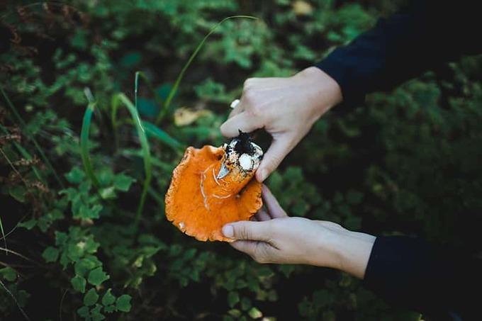 Đặc sản nấm dại có vị như tôm hùm ở Mỹ