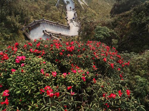 Từ độ cao 2000 lên tới đỉnh Fansipan thời điểm này, đỗ quyên đỏ, vàng vẫn đang rực rỡ bung sắc. Loài hoa của núi rừng Hoàng Liên cũng là một cái cớ để nhiều người năm nào cũng chọn đến Fansipan mùa tháng 5, tháng 6.