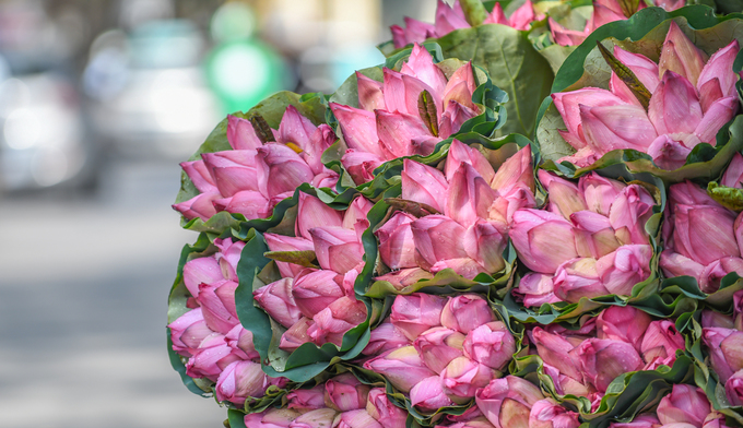 Hoa sen khoe sắc khắp đường phố Hà Nội