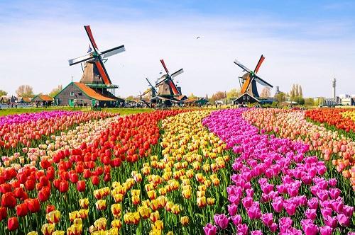 Du nhập vào Hà Lan vào thế kỷ 16, hoa tulip trở thành sản phẩm thương mại quý ở quốc gia này. Ảnh: Pinterest.
