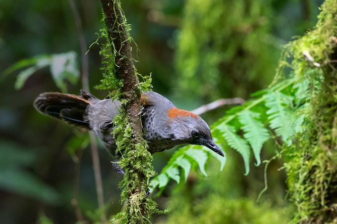 Loài khướu quý hiếm bậc nhất Việt Nam ở núi Ngọc Linh