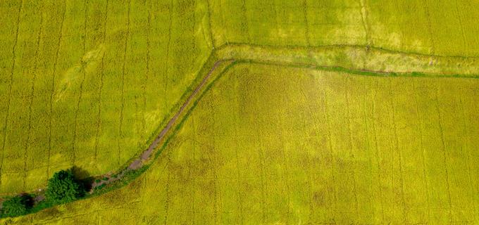 Cánh đồng lúa An Giang vào mùa gặt