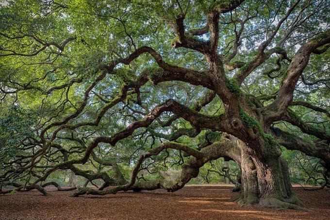 Những cây xanh trở thành biểu tượng trên thế giới