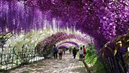 Đường hầm hoa tử đằng với đủ sắc màu vào tháng 4. Ảnh: Askideas.