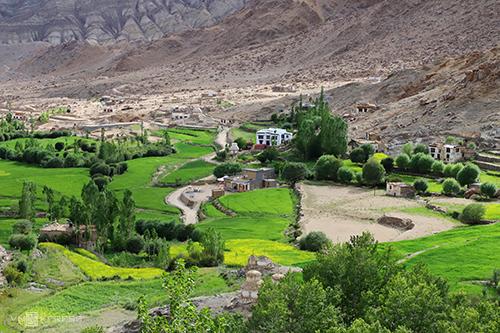 Và mùa hè Ladakh đẹp đẽ, ngọt ngào bất ngờ với mùa mơ chín.