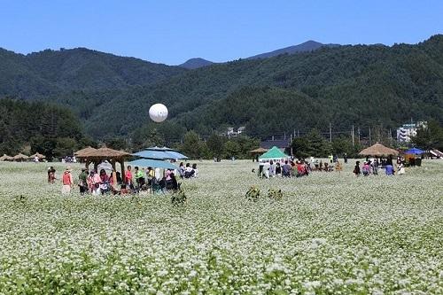 Những cánh đồng kiều mạch trắng xoá hút khách vào tháng 9. Ảnh:Lonely Planet.