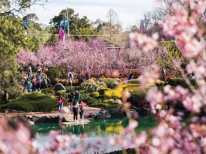 Hoa anh đào nở rộ ở ngoại ô thành phố lớn nhất Australia