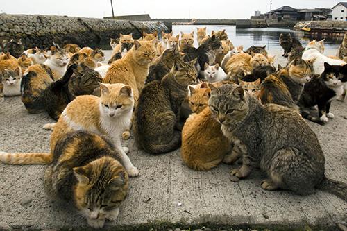 Từ những con mèo được đưa lên đảo để bắt chuột, đến nay đàn mèo tại Aoshima đã có hơn 120 con. Ảnh: Rove me.