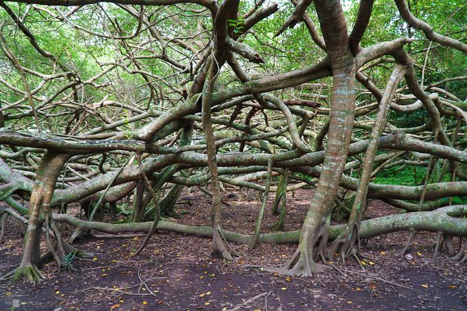 Cây cổ thụ có hàng nghìn rễ ở miền Tây