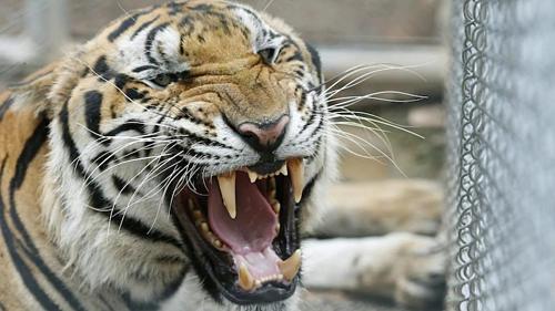 Hổ chết hàng loạt sau khi được giải cứu - ảnh 1