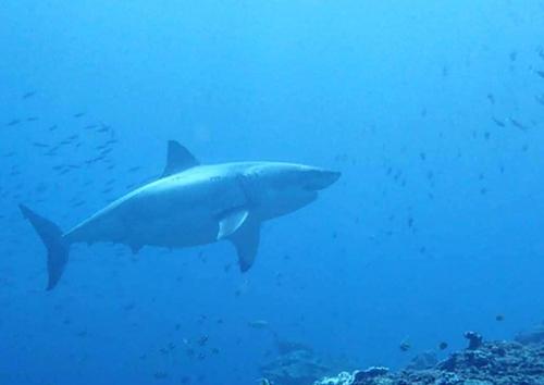 Theo Cholladda, con cá dài khoảng 4 đến 5 mét ở độ sâu 23 mét. Ảnh: Cholladda Khalythong/Facebook.