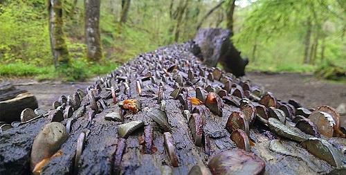 Việc nhét tiền xu vào thân cây có truyền thống từ những năm 1700. Ảnh: Daily Begin.