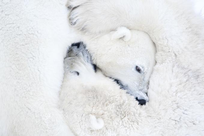 Công viên có hàng nghìn gấu trắng