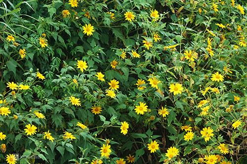 Hoa dã quỳ khi nở tạo thành những mảng màu vàng, xanh rực rỡ. Ảnh: Di Vỹ.