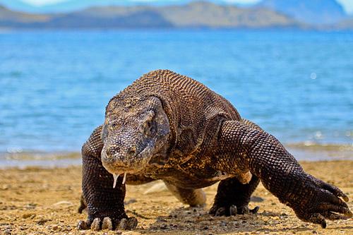 Komodo là loài thằn lằn lớn nhất thế giới. Ảnh: Flickr/Adhi Rachdian.