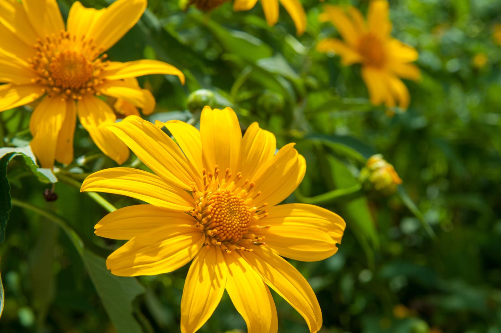 Kinh nghiệm 'săn' hoa mùa dã quỳ ở Đà Lạt